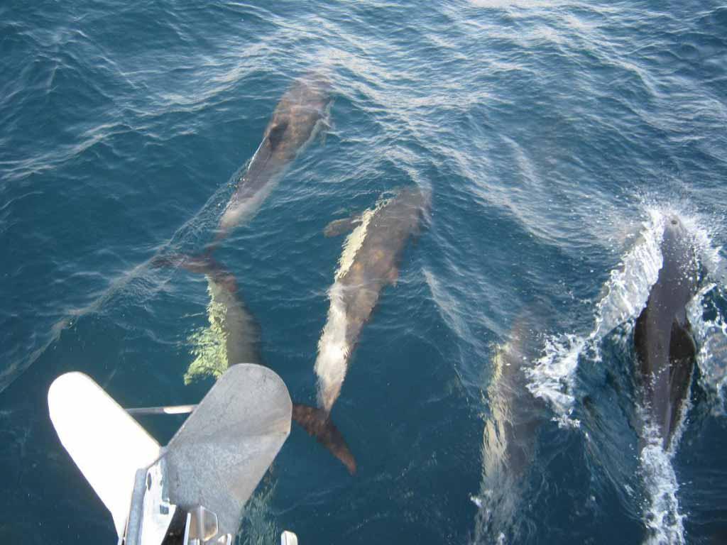Дельфинов много, а форштевень один.